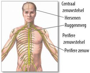 fysiologische werking van stress