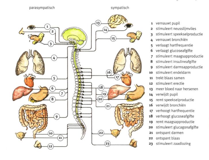 Afbeeldingsresultaat voor parasympatische en sympatische zenuwstelsel
